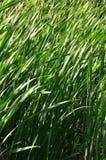 Muitas hastes dos juncos verdes Juncos ímpares com haste longa Imagem de Stock