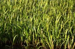 Muitas hastes dos juncos verdes Juncos ímpares com haste longa Fotos de Stock