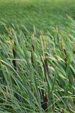 Muitas hastes dos juncos verdes Juncos ímpares com haste longa Foto de Stock