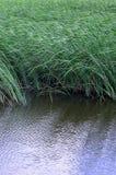 Muitas hastes dos juncos verdes crescem da água do rio Juncos ímpares com haste longa Fotografia de Stock Royalty Free