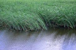 Muitas hastes dos juncos verdes crescem da água do rio Juncos ímpares com haste longa Foto de Stock Royalty Free