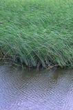 Muitas hastes dos juncos verdes crescem da água do rio Juncos ímpares com haste longa Imagens de Stock