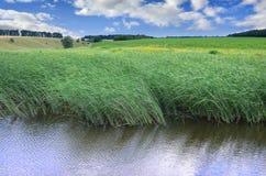 Muitas hastes dos juncos verdes crescem da água do rio sob o céu azul nebuloso Juncos ímpares com haste longa Foto de Stock Royalty Free