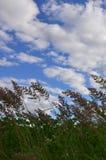 Muitas hastes dos juncos verdes crescem da água do rio sob o céu azul nebuloso Juncos ímpares com haste longa Fotografia de Stock Royalty Free