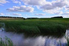 Muitas hastes dos juncos verdes crescem da água do rio sob o céu azul nebuloso Juncos ímpares com haste longa Fotos de Stock Royalty Free