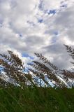 Muitas hastes dos juncos verdes crescem da água do rio sob o céu azul nebuloso Juncos ímpares com haste longa Imagens de Stock