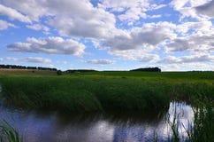 Muitas hastes dos juncos verdes crescem da água do rio sob o céu azul nebuloso Juncos ímpares com haste longa Imagem de Stock Royalty Free