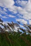 Muitas hastes dos juncos verdes crescem da água do rio sob o céu azul nebuloso Juncos ímpares com haste longa Imagens de Stock Royalty Free