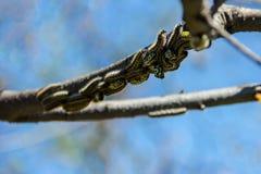 Muitas lagartas na árvore foto de stock