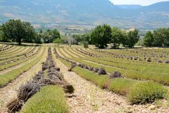 Muitas linhas de alfazemas cortadas em campos colhidos e com grupos de flores de corte fotos de stock