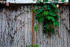 Muitas luzes conduzidas pequenas na parede branca com cerca e folhas do ferro Pouco fundo conduzido das luzes fotos de stock royalty free