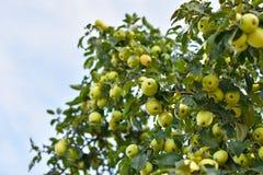 Muitas maçãs amarelas e verdes crescem em um grande ramo, copiam o espaço foto de stock