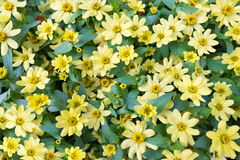 Muitas margaridas amarelas Imagens de Stock Royalty Free