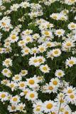 Muitas margaridas no jardim Imagem de Stock