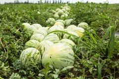 Muitas melancias crescem no campo imagens de stock royalty free