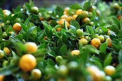 Mini árvores de tangerina foto de stock royalty free