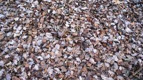 Muitas muitas folhas do carvalho em França Imagens de Stock