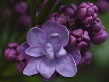 Muitas pétalas são uma flor lilás macia pequena da cor lilás e botões undecayed das flores nos grupos no fundo verde, pho macro Imagem de Stock