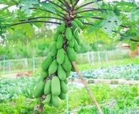 Muitas papaia agrupam a suspensão na árvore na exploração agrícola vegetal orgânica, fundo natural dos testes padrões imagem de stock