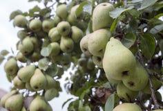 Muitas peras verdes em uma árvore foto de stock royalty free
