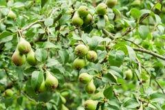 Muitas peras verdes em uma árvore no pomar fotografia de stock royalty free
