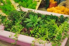 Muitas plantas carnudas pequenas Fotografia de Stock