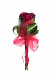 Muitas rosas vermelhas no fundo branco fotografia de stock
