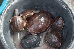 Muitas tartarugas Imagens de Stock