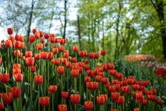 Muitas tulipas alaranjadas brilhantes no parque em um dia ensolarado imagem de stock royalty free