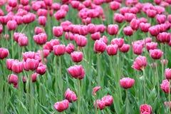 Muitas tulipas cor-de-rosa no jardim no dia de mola ensolarado imagens de stock