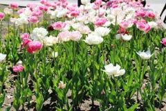 Muitas tulipas na cor do rosa e a branca tulipas na cama de flor da cidade fotografia de stock royalty free