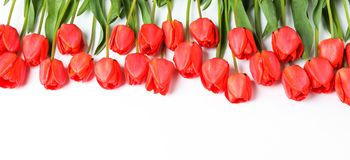 Muitas tulipas vermelhas bonitas com as folhas verdes no fundo branco imagem de stock
