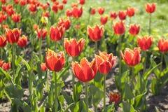 Muitas tulipas vermelhas no canteiro de flores Imagem de Stock