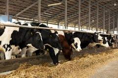 Muitas vacas na exploração agrícola Fotografia de Stock