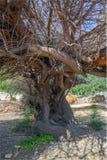 Muito, árvore muito velha foto de stock royalty free