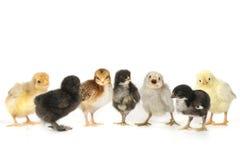 Muito bebê Chick Chickens Lined Up no branco fotos de stock royalty free