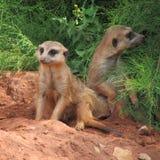 Muito divertimento e meerkats engraçados em uma caminhada no jardim zoológico que levanta para fotógrafo Imagens de Stock
