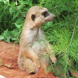 Muito divertimento e meerkats engraçados em uma caminhada no jardim zoológico que levanta para fotógrafo Imagens de Stock Royalty Free