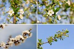 Muito flor branca da mola. Fundos da natureza Imagem de Stock Royalty Free
