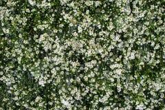 Muito flor branca pequena no fundo verde Imagens de Stock