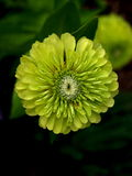Muito flor Petaled Imagens de Stock