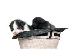 Muito gatinhos dos littles em um chapéu no fundo branco puro no estúdio Imagens de Stock