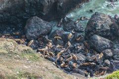 Muito leão de mar sobre na caverna do leão de mar, na costa de Oregon, OU, EUA imagem de stock royalty free