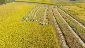 Muito o fazendeiro está colhendo o arroz na terra, colhendo é o pro imagem de stock