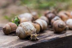 Muito o pomatia da hélice, ou o caracol de Borgonha, romano, comestível ou escargot rastejam em uma placa de madeira O caracol co fotografia de stock royalty free