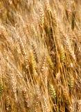 Muito o trigo maduro desengaça em junho no meio do cultivado Fotografia de Stock Royalty Free