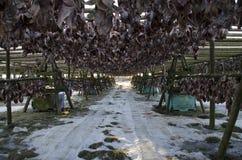 Muito peixe grande é secado em apoios de madeira sob o céu aberto imagem de stock royalty free
