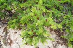 Muito Pinecones no ramo Imagens de Stock