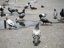 Muito pombo foto de stock