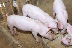 Muito porco branco alimentado na exploração agrícola Fotografia de Stock